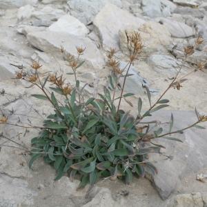 Photographie n°39968 du taxon Linum campanulatum L. [1753]
