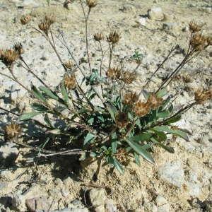 Photographie n°39970 du taxon Linum campanulatum L. [1753]