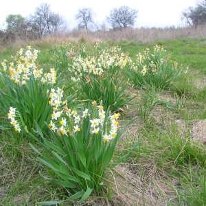 Photographie n°39986 du taxon Narcissus tazetta L. [1753]