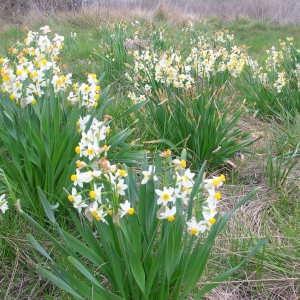 Photographie n°39987 du taxon Narcissus tazetta L. [1753]