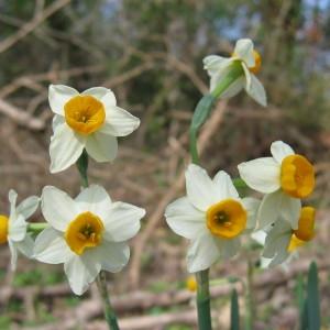 Photographie n°39988 du taxon Narcissus tazetta L. [1753]