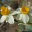 Christophe BERNIER - Narcissus tazetta L. [1753]