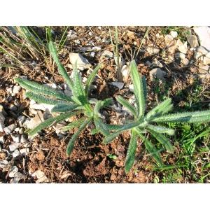 Draba tomentosa Clairv. subsp. tomentosa (Drave tomenteuse)