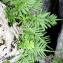 Christophe BERNIER - Polypodium cambricum L.