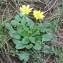 Christophe BERNIER - Ranunculus ficaria L.