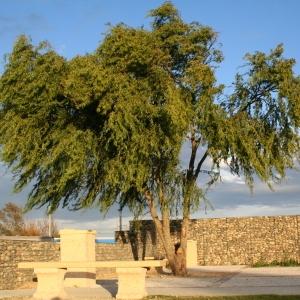 Salix babylonica L. (Saule de Babylone)