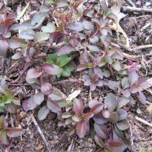 Photographie n°40083 du taxon Veronica officinalis L.