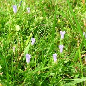 Photographie n°40090 du taxon Wahlenbergia hederacea (L.) Rchb.