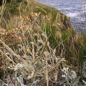 Jacobaea maritima subsp. bicolor (Willd.) B.Nord. & Greuter (Séneçon bicolore)