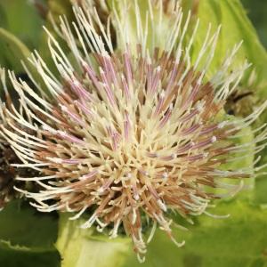 Photographie n°40121 du taxon Cirsium oleraceum (L.) Scop.