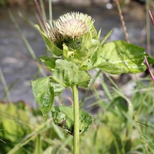 Photographie n°40122 du taxon Cirsium oleraceum (L.) Scop.