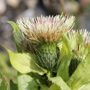 Photographie n°40123 du taxon Cirsium oleraceum (L.) Scop.