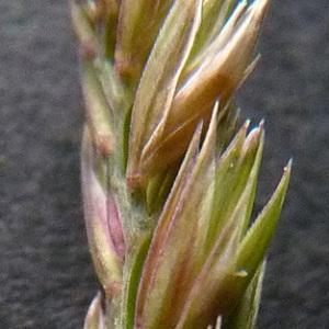 Dactylis glomerata subsp. lobata (Drejer) H.Lindb. (Dactyle d'Ascherson)