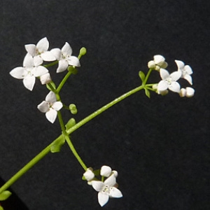 Photographie n°40178 du taxon Galium palustre L. [1753]