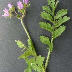 Photographie n°42722 du taxon Erodium moschatum (L.) L'Hér. [1789]