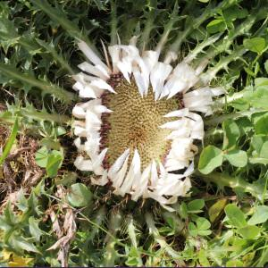 Photographie n°42736 du taxon Carlina acaulis L.