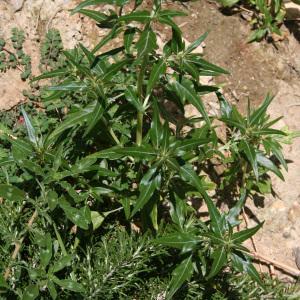 Photographie n°42769 du taxon Xanthium spinosum L. [1753]