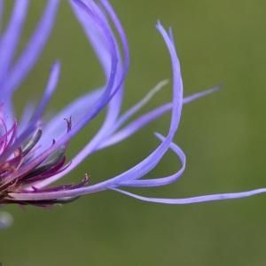 Photographie n°42778 du taxon Centaurea montana L. [1753]