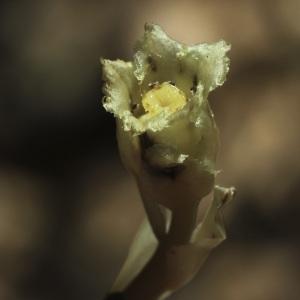 Photographie n°42784 du taxon Monotropa hypopitys L. [1753]