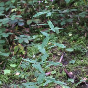 Photographie n°42826 du taxon Prenanthes purpurea L. [1753]