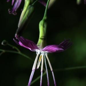 Photographie n°42827 du taxon Prenanthes purpurea L. [1753]