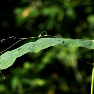 Photographie n°42828 du taxon Prenanthes purpurea L.
