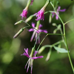 Photographie n°42829 du taxon Prenanthes purpurea L.