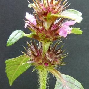 Photographie n°42845 du taxon Galeopsis tetrahit L.