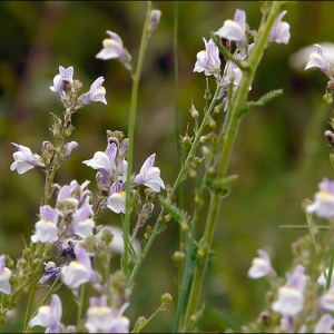 Photographie n°42849 du taxon Linaria repens (L.) Mill.
