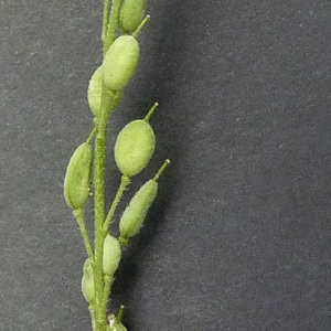 Photographie n°42851 du taxon Berteroa incana (L.) DC. [1821]
