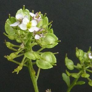 Photographie n°42866 du taxon Iberis amara L. [1753]