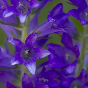 Photographie n°42886 du taxon Campanula spicata L.