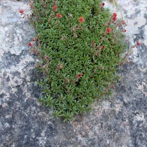 Photographie n°42906 du taxon Saxifraga aizoides L.