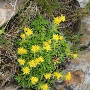 Photographie n°42909 du taxon Saxifraga aizoides L.