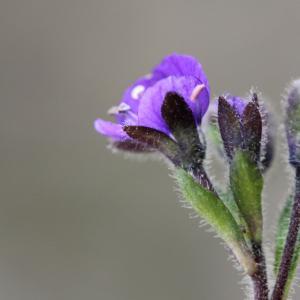 Photographie n°42945 du taxon Veronica aphylla L.