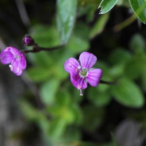 Photographie n°42948 du taxon Veronica aphylla L.