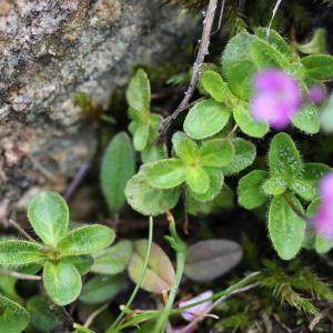 Photographie n°42949 du taxon Veronica aphylla L.