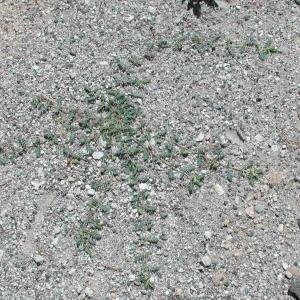 Photographie n°42957 du taxon Tribulus terrestris L. [1753]