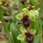 John De Vos - Ophrys bombyliflora Link [1800]