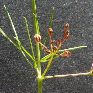 Photographie n°42979 du taxon Cyclospermum leptophyllum (Pers.) Sprague ex Britton & Wilson [1925]