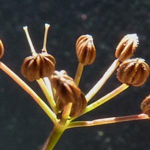 Photographie n°42980 du taxon Cyclospermum leptophyllum (Pers.) Sprague ex Britton & Wilson [1925]