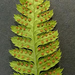 Photographie n°42981 du taxon Dryopteris carthusiana (Vill.) H.P.Fuchs [1959]