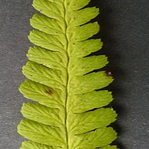 Photographie n°42985 du taxon Dryopteris filix-mas (L.) Schott [1834]