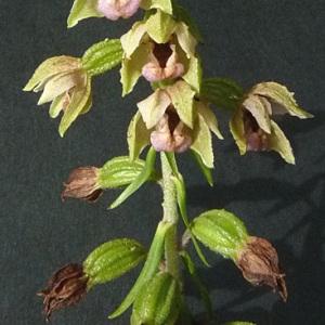Photographie n°42986 du taxon Epipactis helleborine (L.) Crantz [1769]