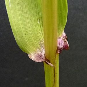 Photographie n°42988 du taxon Festuca gigantea (L.) Vill. [1787]