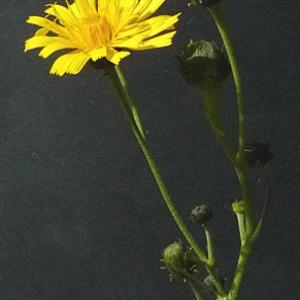 Photographie n°42993 du taxon Hieracium umbellatum L. [1753]