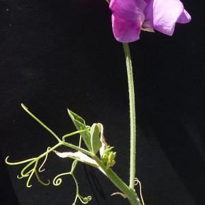 Lathyrus odoratus L. (Pois de senteur)