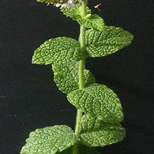 Photographie n°42999 du taxon Mentha suaveolens Ehrh. [1792]