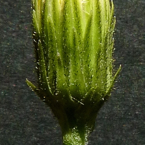 Photographie n°43031 du taxon Hieracium laevigatum Willd. [1803]