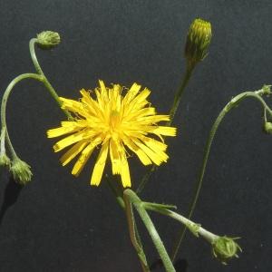 Photographie n°43032 du taxon Hieracium laevigatum Willd. [1803]